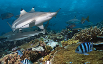 Picture of sharks in Beqa Lagoon