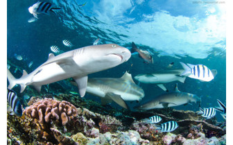 Picture of shark diving in Beqa Lagoon