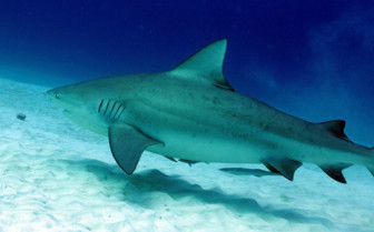 Picture of a bull shark in Beqa Lagoon