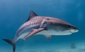 Picture of tiger shark in Beqa Lagoon