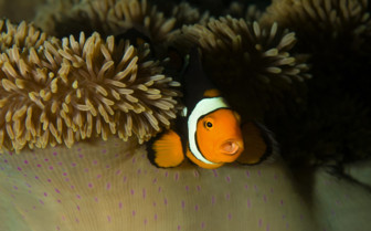 Picture of Clown Fish in New Britain