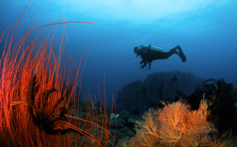 Picture of diver and corals in New Britain