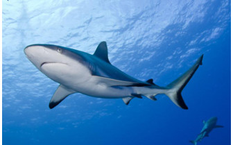 Picture of a reef shark in tufi