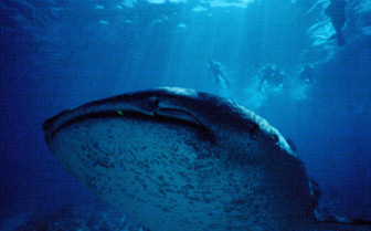 Picture of whale shark close up Northern Atolls