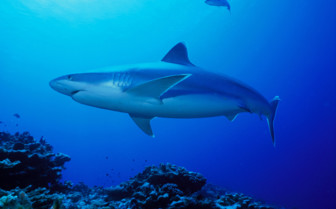 Picture of shark diving in New Ireland