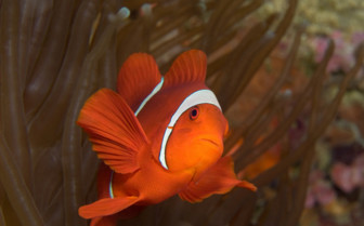 Picture of clown fish in New Ireland