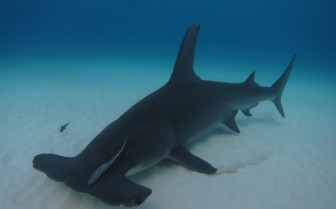 Picture of Hammerhead shark Bahamas