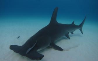 Picture of Hammerhead shark Bahamas