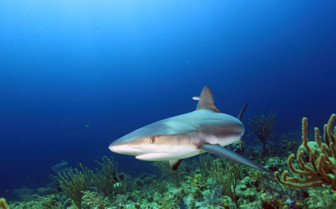 Picture of shark in Stuart's Cove Bahamas