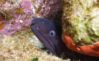 Picture of Moray eel in Sardinia