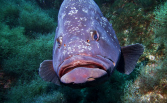 Picture of Grouper fish Azores