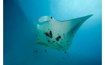 Picture of Manta ray Azores