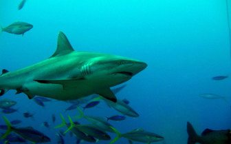 Picturef of grey shark Yap island