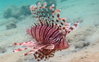 Picture of Lionfish in Yap