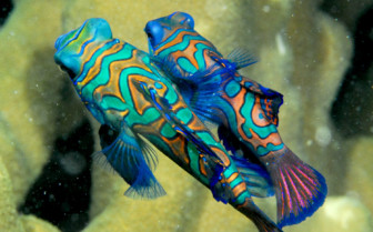 Picture of Mandarinfish in Yap