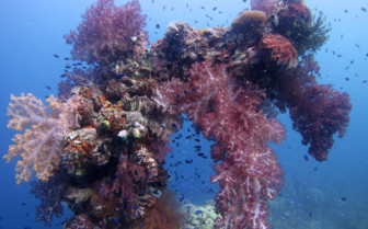 Picture of colourful corals in Chuuk Lagoon