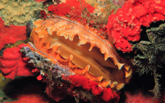 Picture of a beautiful clam in Chuuk Lagoon