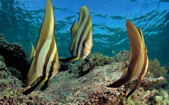 Picture of Batfish at Wakatobi