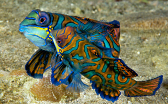 Picture of Mandarinfish at Wakatobi
