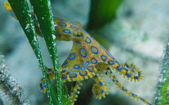 Picture of Blue Ringed Octopus at Wakatobi