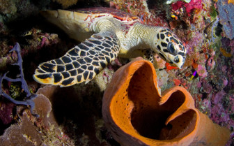 Picture of Sea Turtle at Wakatobi