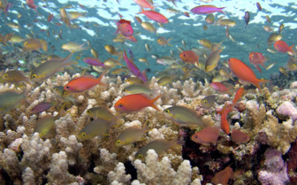 Picture of Anthias at Wakatobi
