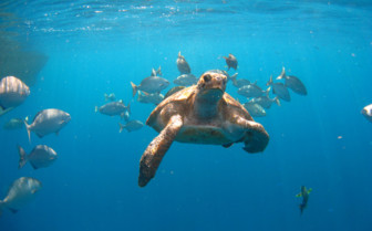 Picture of Sea turtle Similan Islands