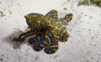 Picture of blue ringed octopus Sipadan