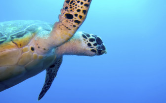 Picture of Sea turtle Belize