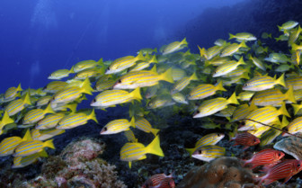 Picture of School Of Sweetlips Mafia Island