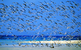 Picture of Bird flock Mnemba Island
