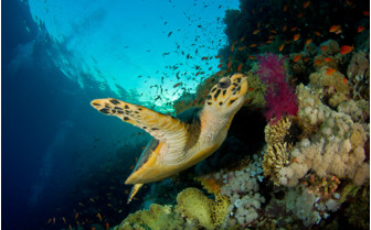 Picture of Sea turtle Musandam Peninsula