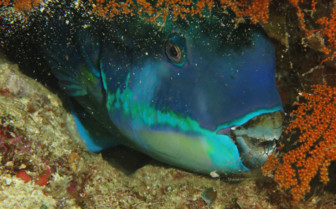 Picture of Parrotfish Raja Ampat
