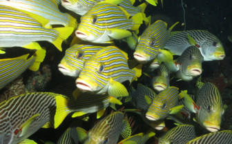 Picture of School of fish Raja Ampat