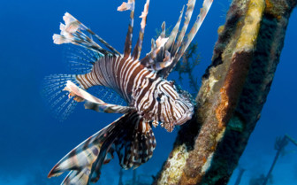 Picture of a Lionfish in the Abacos
