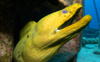 Picture of a Moray in the Abacos