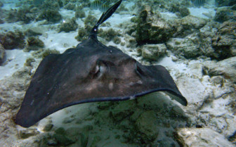 Picture of a Sting Ray in the Abacos