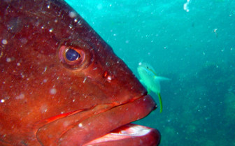 Picture of Grouper at Bimini