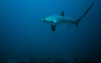 Picture of Thresher Shark