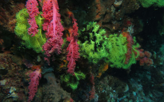 Picture of colourful coral Malapascua