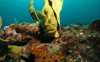 Picture of Frogfish at Malapascua