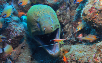Picture of cleaner shrimp on moray eel Bohol