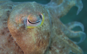 Picture of cuttlefish in Bohol