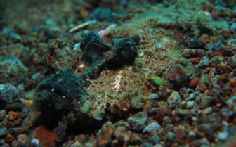 Picture of devil fish Bohol