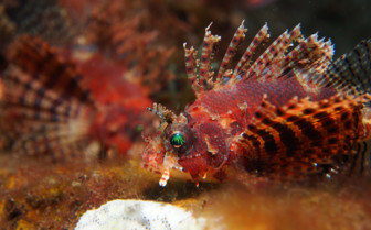 Picture of lion fish in Bohol