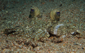 Picture of flounder in Bohol