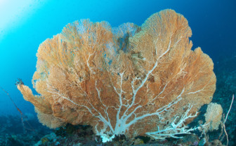 Picture of coral Tubbataha reef