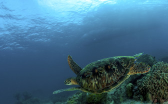 Picture of turtle at Tubbataha reef