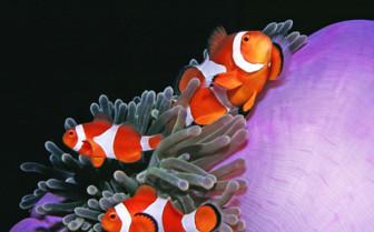 Picture of clownfish Tubbataha reef