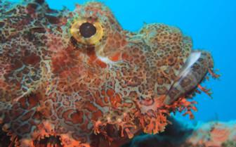 Picture of scorpion fish Tubbataha reef